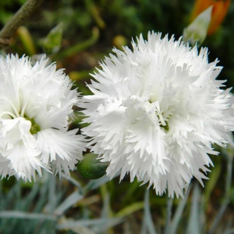 Feder Nelken Dianthus plumarius schöne Frühlingsblumen Bilder
