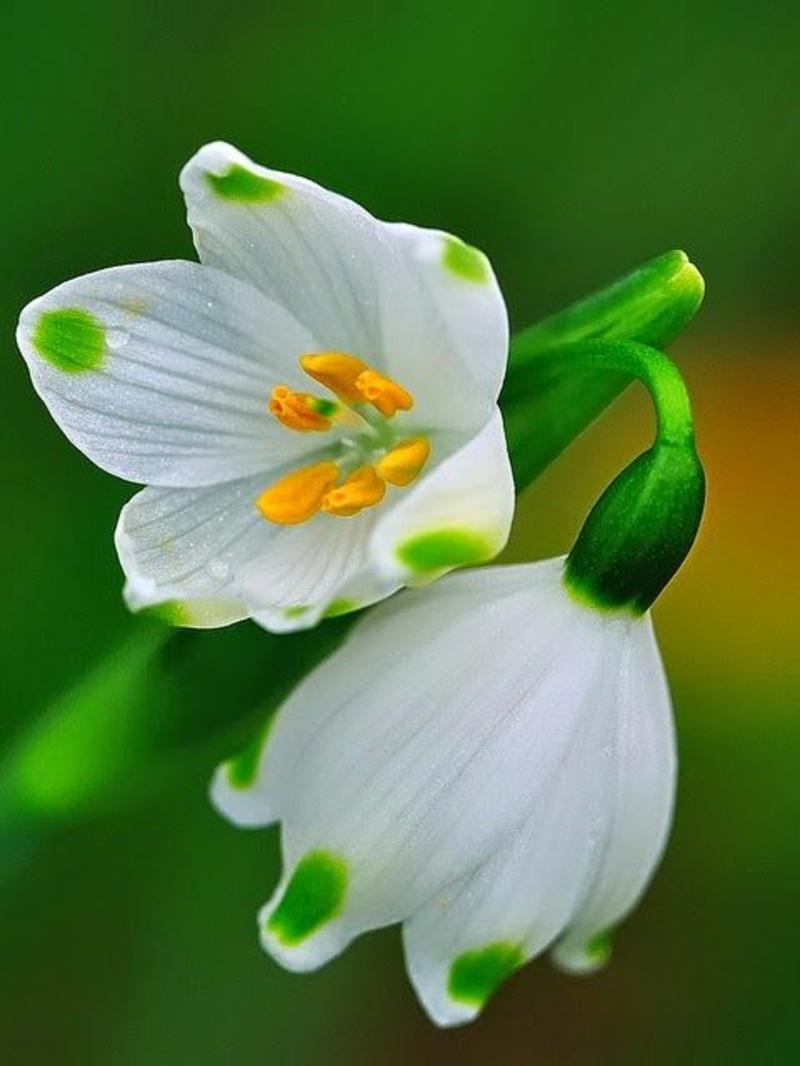 Frühlings Knotenblume Leucojum vernum schöne Frühlingsblumen Bilder