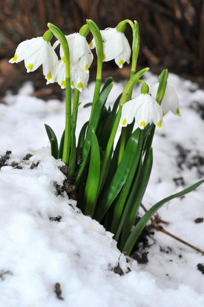 Frühlings Knotenblume große Schneeglöcken Frühlingsblumen Bilder