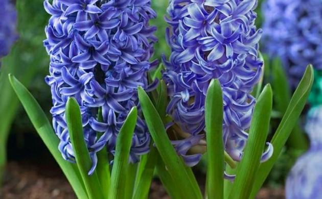 Garten-Hyazinthen-Hyacinthus-orientalis-schöne-Frühlingsblumen-Bilder
