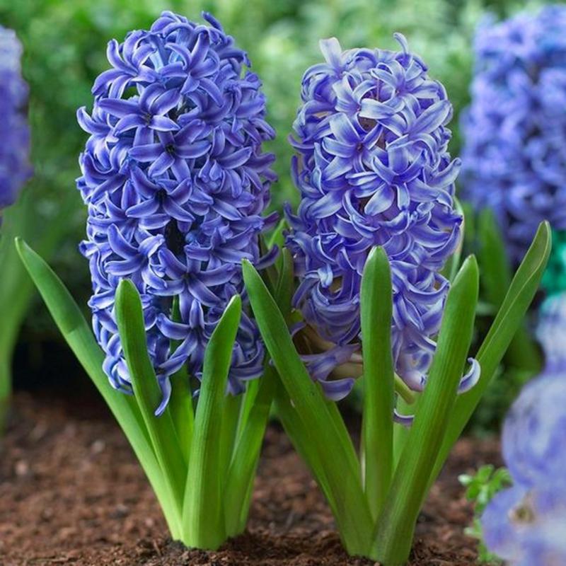 Garten Hyazinthen Hyacinthus orientalis schöne Frühlingsblumen Bilder
