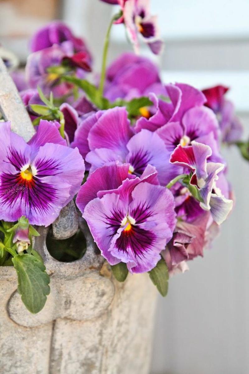 Garten Stiefmütterchen Viola wittrockiana Frühlingsblumen Bilder
