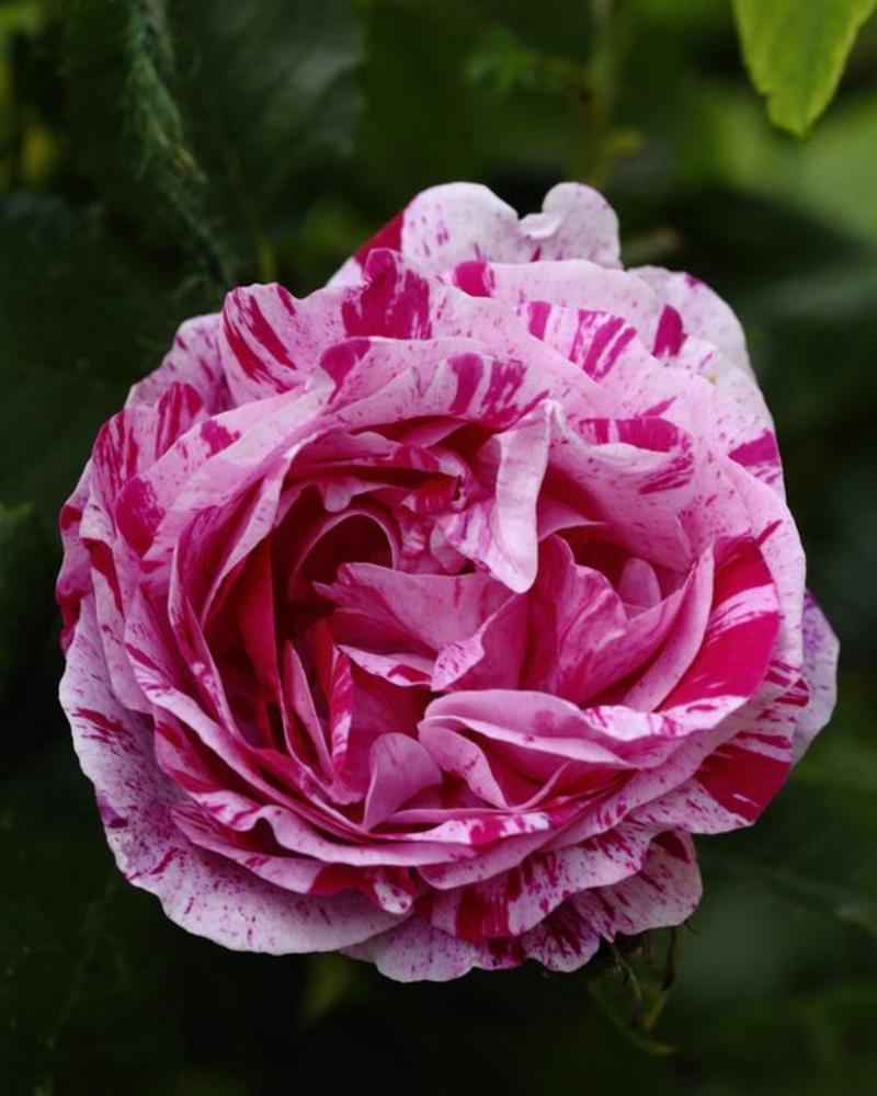 Gemeine Pfingstrose Paeonia officinalis schöne Frühjahrsblumen Bilder
