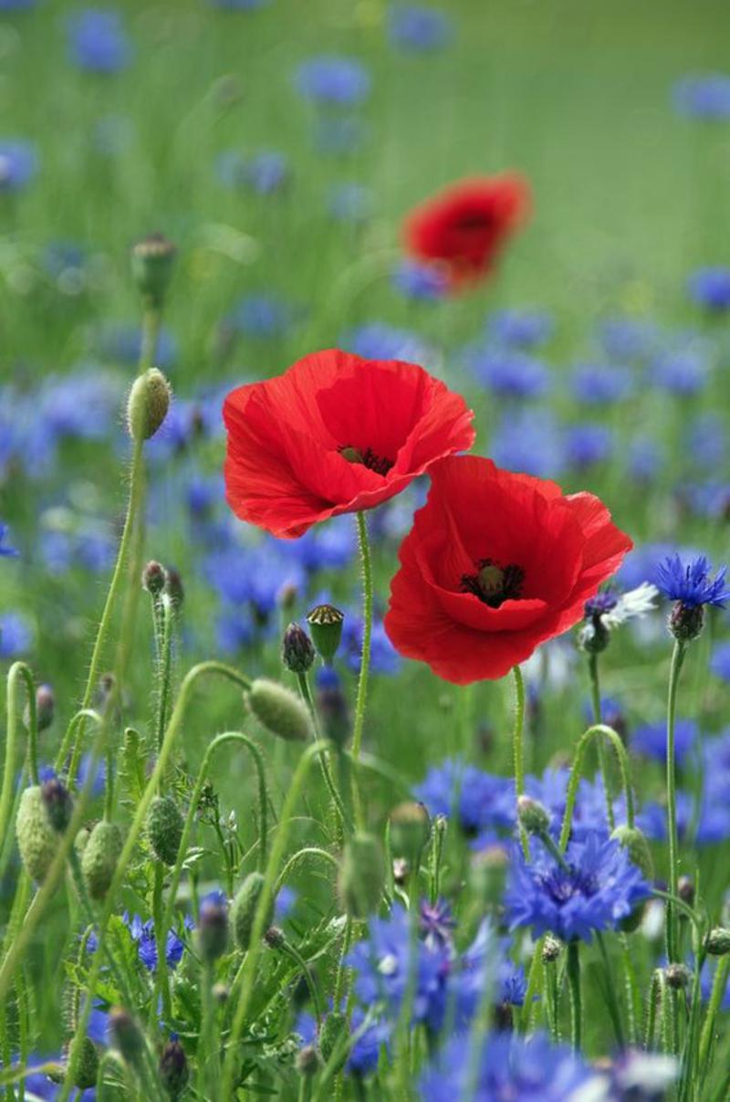 Klatschmohn Papaver rhoeas schöne Frühjahrsblumen Bilder