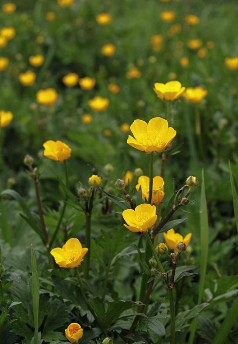 Kriechender Hahnenfuß Ranunculus örepens schöne Frühjahrsblumen Bilder