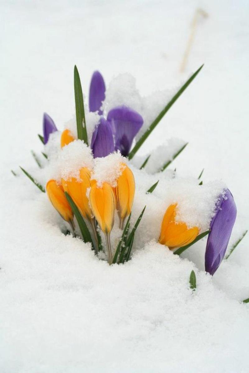 Krokus im Schnee Crocus schöne Frühlingsblumen Bilder