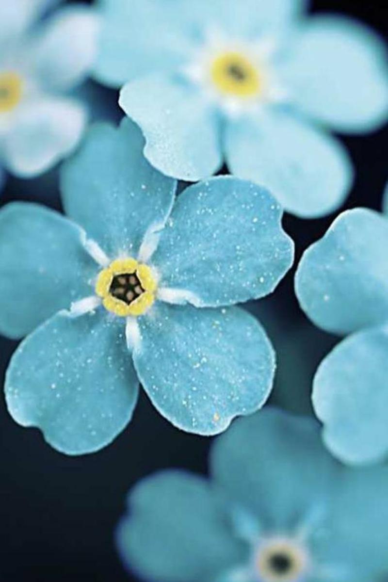 Myosotis schöne Frühjahrsblumen Bilder