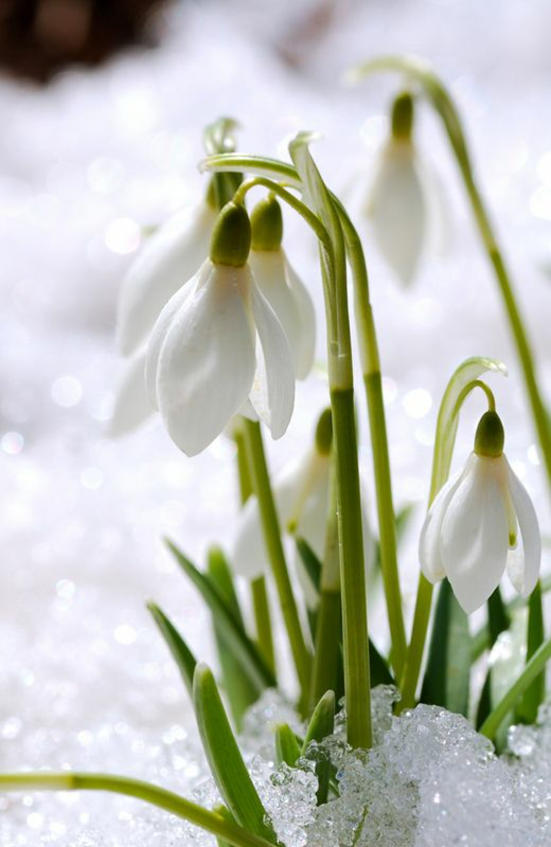 Schneeglöckchen Galanthus nivalis März Schnee Frühjahrsblumen