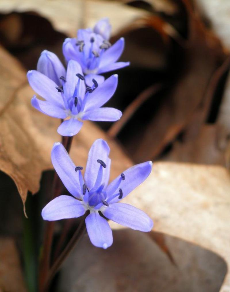 Scilla bifolia Blausterne schöne Frühlingsblumen Bilder