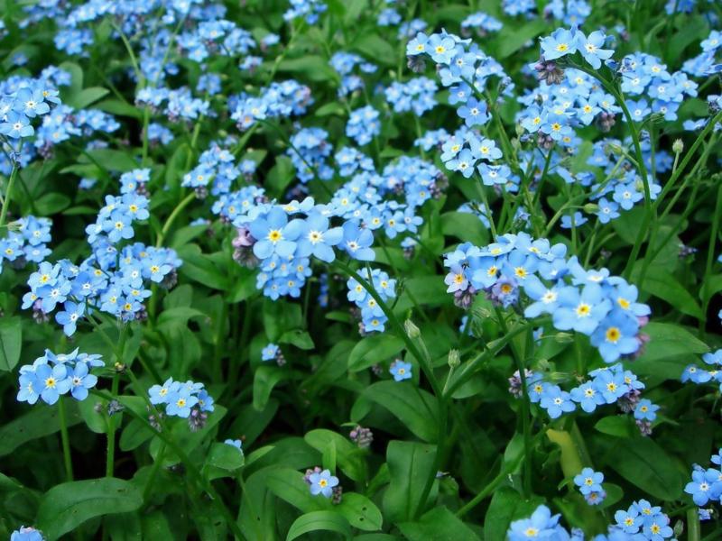 Vergissmeinnicht Myosotis schöne Frühjahrsblumen Bilder