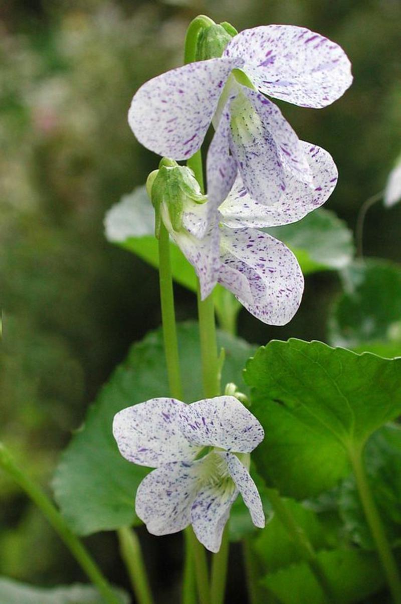 Viola odorata Märzveilchen schöne Frühlingsblumen Bilder