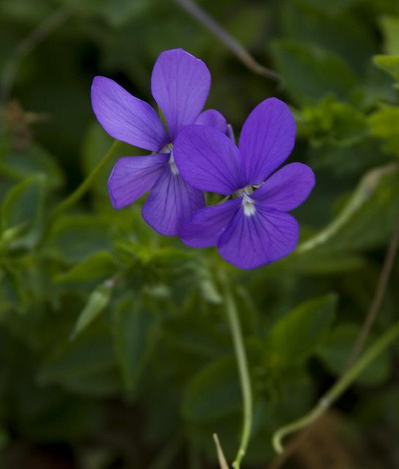 Viola odorata Veilchen schöne Frühlingsblumen Bilder