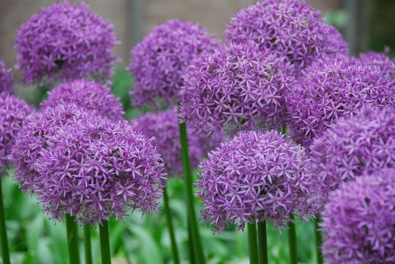 Zierlauch Allium schöne Frühjahrsblumen Bilder