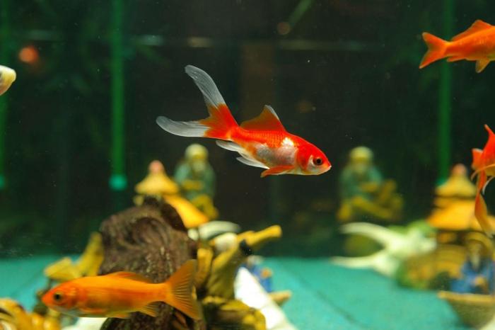 Das heimische aquarium aufpeppen variationen und ideen for Aquarium goldfische