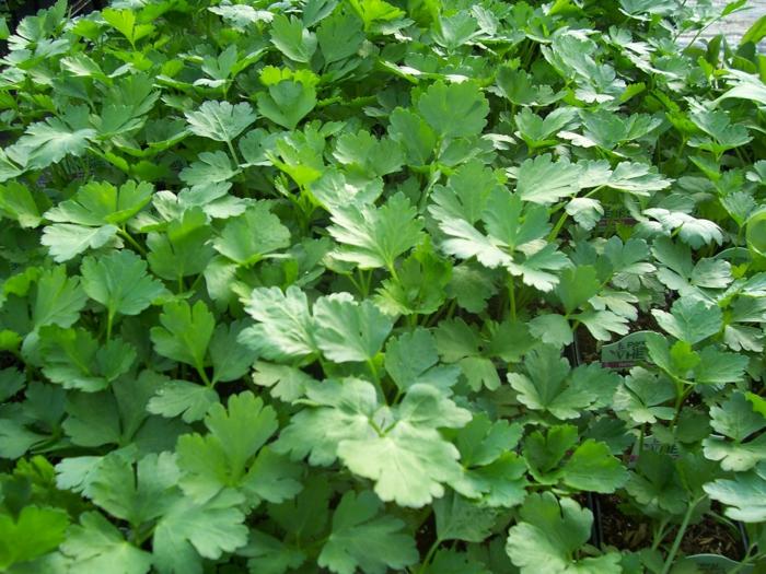 kräuter garten anlegen petersilie blumentopf pflege pflanze