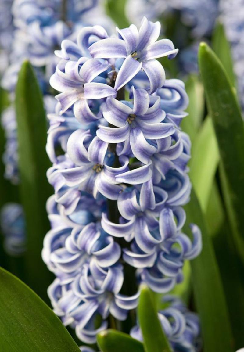 Hyacinthus orientalis Deko Ideen mit Frühjahrsblumen Bilder
