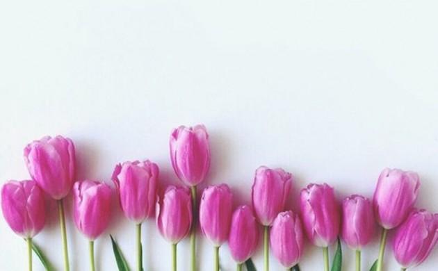 lila-Tulpen-Tulipa-schöne-Frühlingsblumen-Bilder