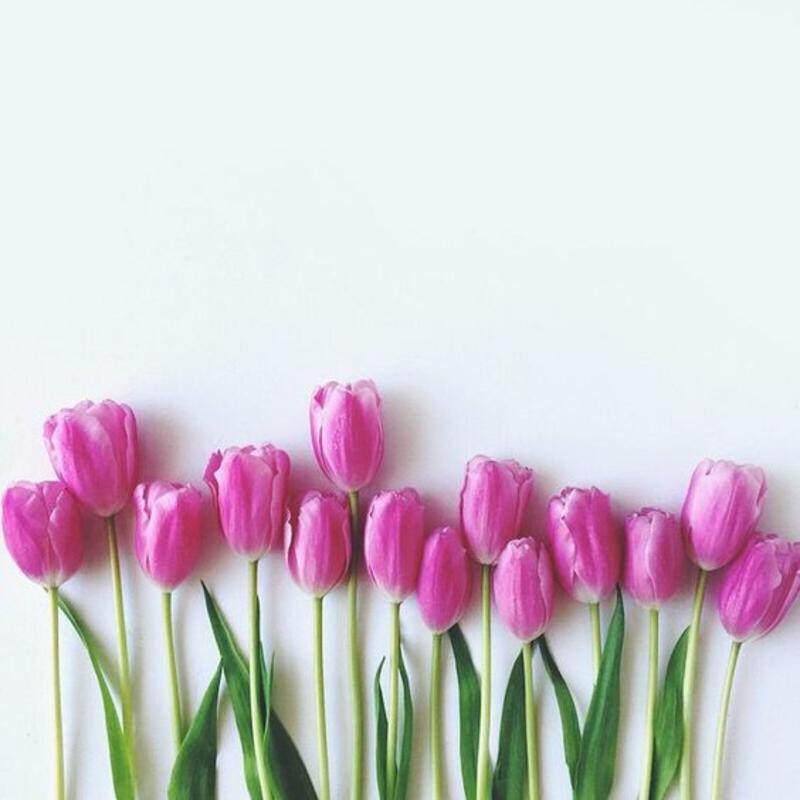 lila Tulpen Tulipa schöne Frühlingsblumen Bilder
