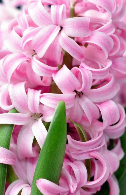 rosa Hyacinthus orientalis Frühlingsblumen Bilder