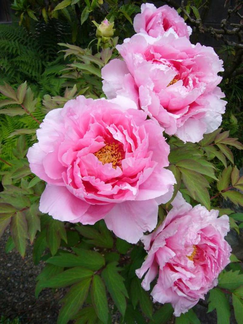 rosa Gemeine Pfingstrose Paeonia officinalis schöne Frühjahrsblumen Bilder