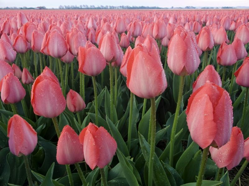 rosa Tulpen Tulipa schöne Frühlingsblumen Bilder