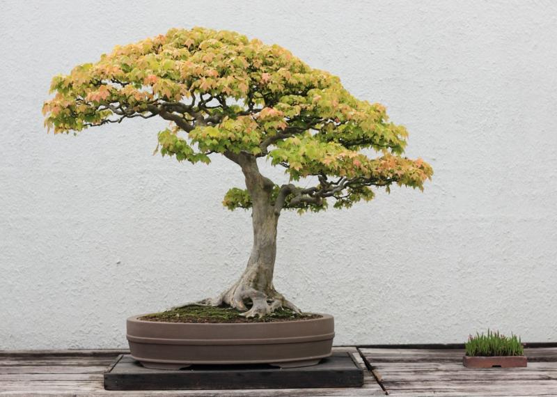 Ahorn Bonsai Pflege Bonsai Arten Gartenideen