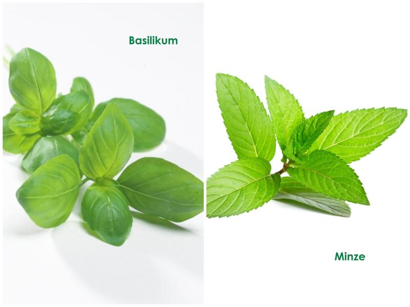 Basilikum Pflanze frischer Basilikum Minze Ähnlichkeiten und Unterschiede
