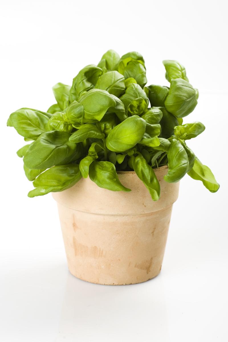 Basilikum Pflanze frischer Basilikum Topfpflanze Kräutergarten