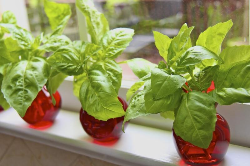 Basilikum Pflanze frischer Basilikum am Fensterbrett
