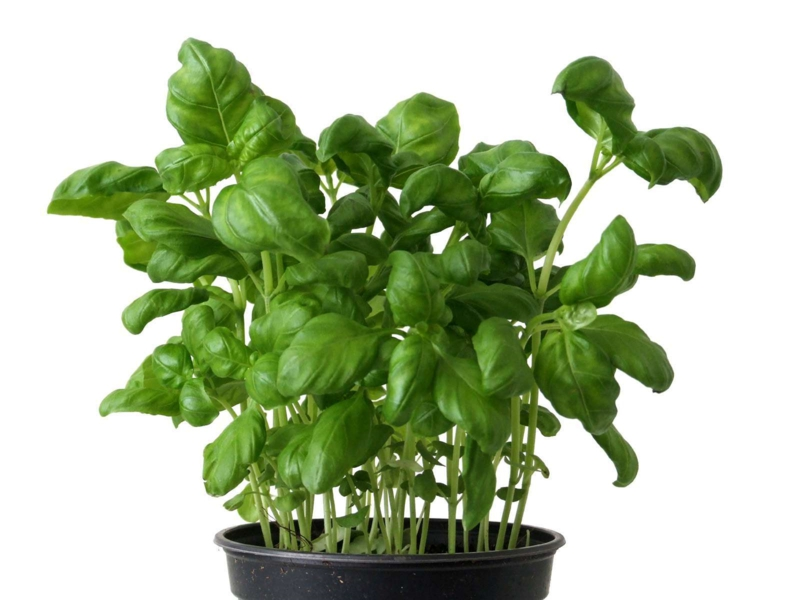 Basilikum Pflanze frischer Basilikum im Topf