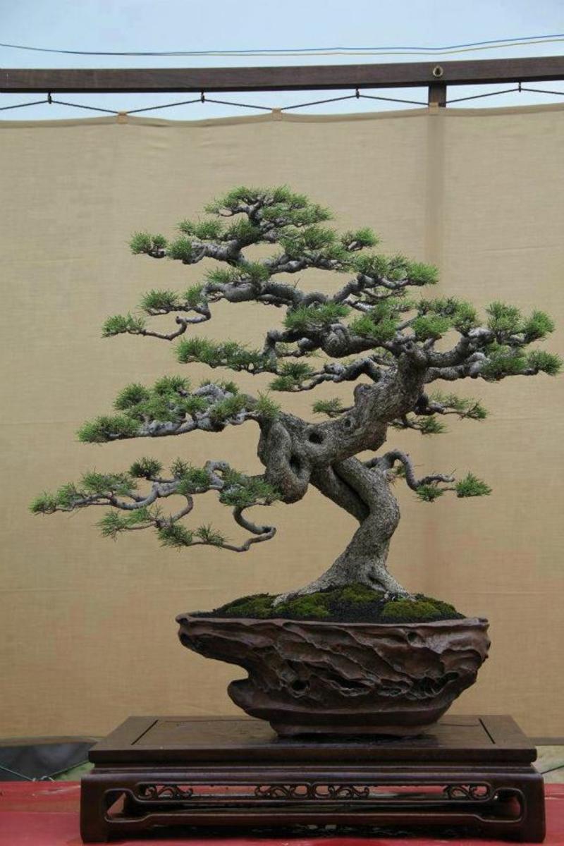 Bonsai Baum kaufen Bonsai Arten züchten und pflegen
