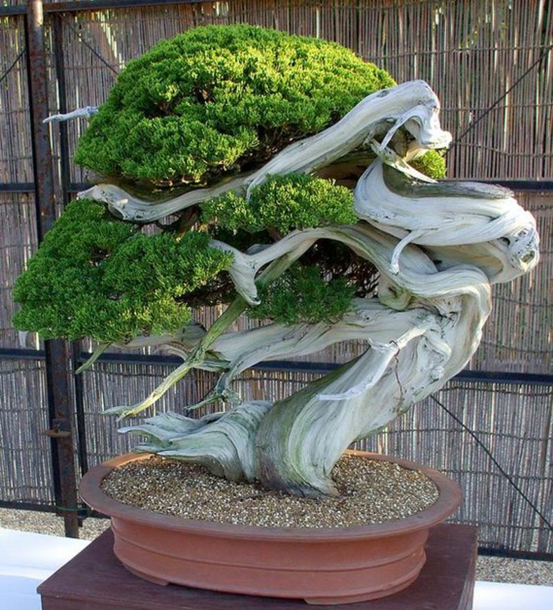 Bonsai Baum kaufen Bonsai Pflege außergewöhnliche Form