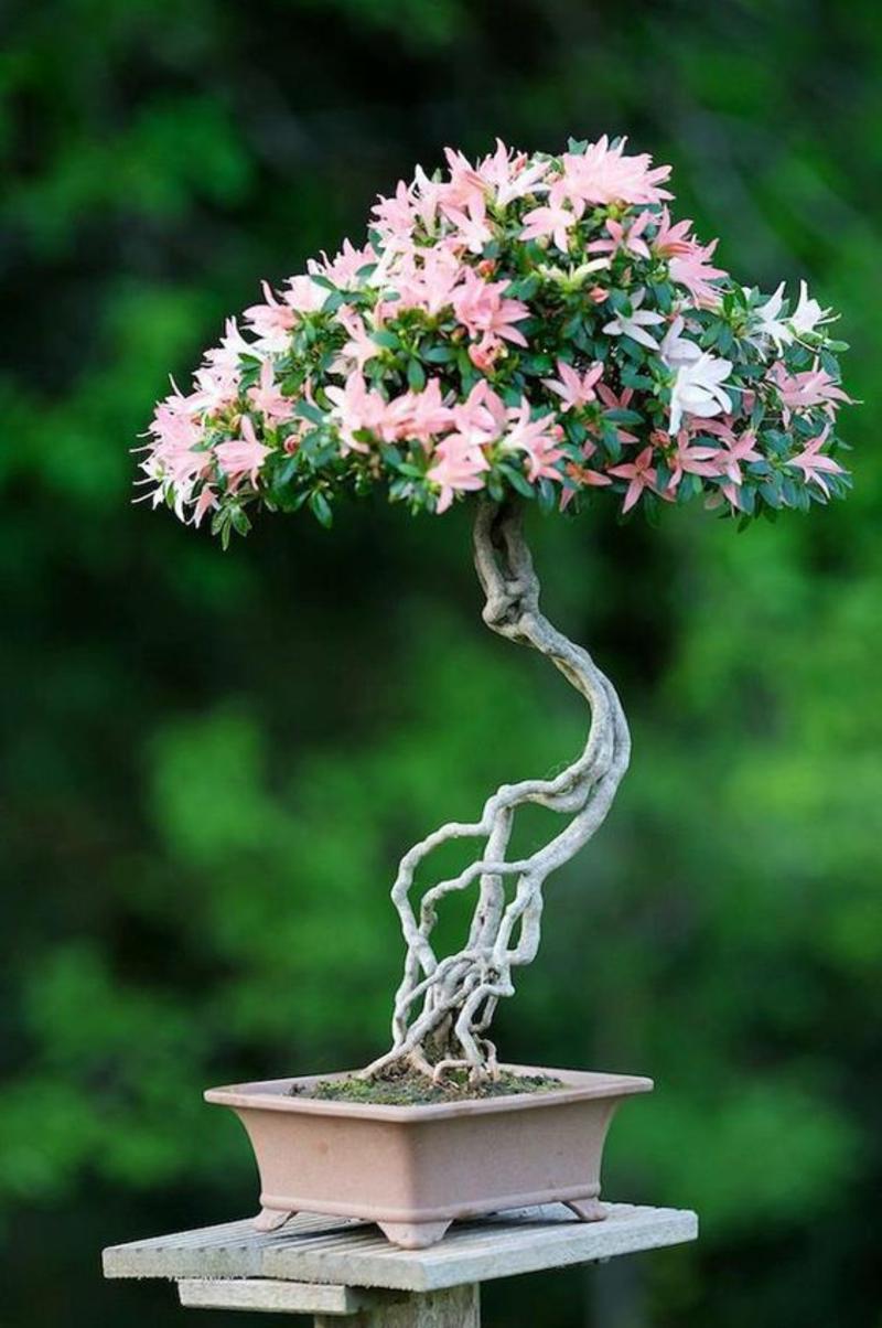 Bonsai Baum kaufen Bonsai Pflege fernöstliche Kultur