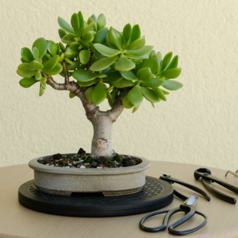 Bonsai Baum kaufen Bonsai schneiden nötige Instrumente