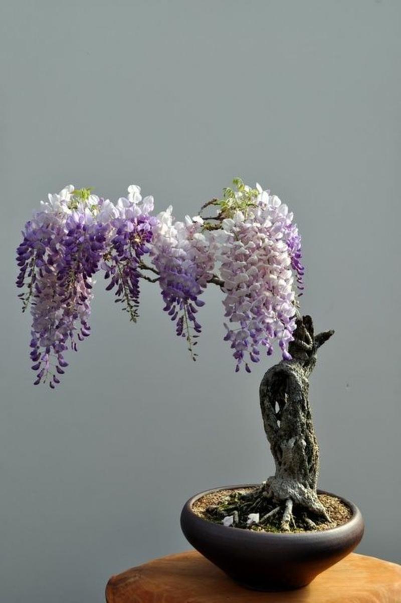 bonsai baum kaufen und richtig pflegen einige wertvolle. Black Bedroom Furniture Sets. Home Design Ideas