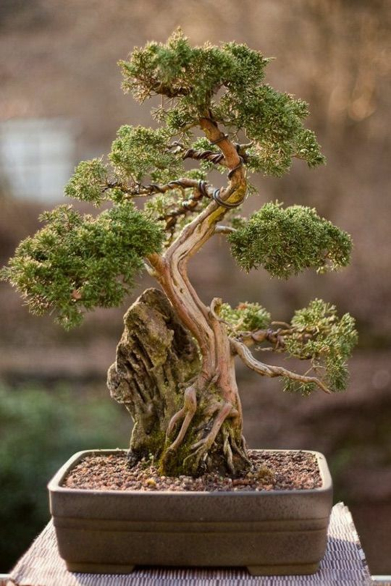 buy bonsai tree and maintain it properly some valuable tips garden design. Black Bedroom Furniture Sets. Home Design Ideas