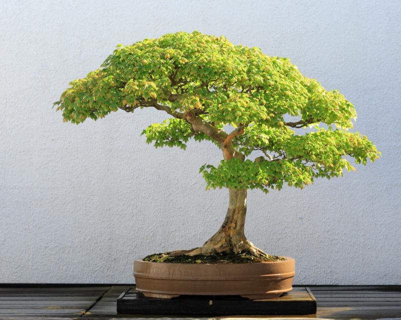 Bonsai Pflege Bonsai Arten Bonsai Bäume umtopfen