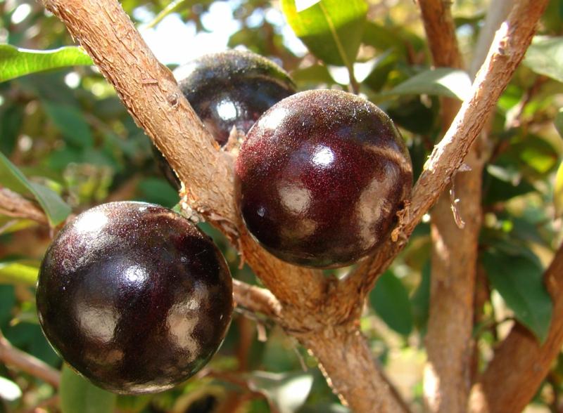 Camu Camu Myrciaria dubia Strauch Super Frucht reif purpurrot