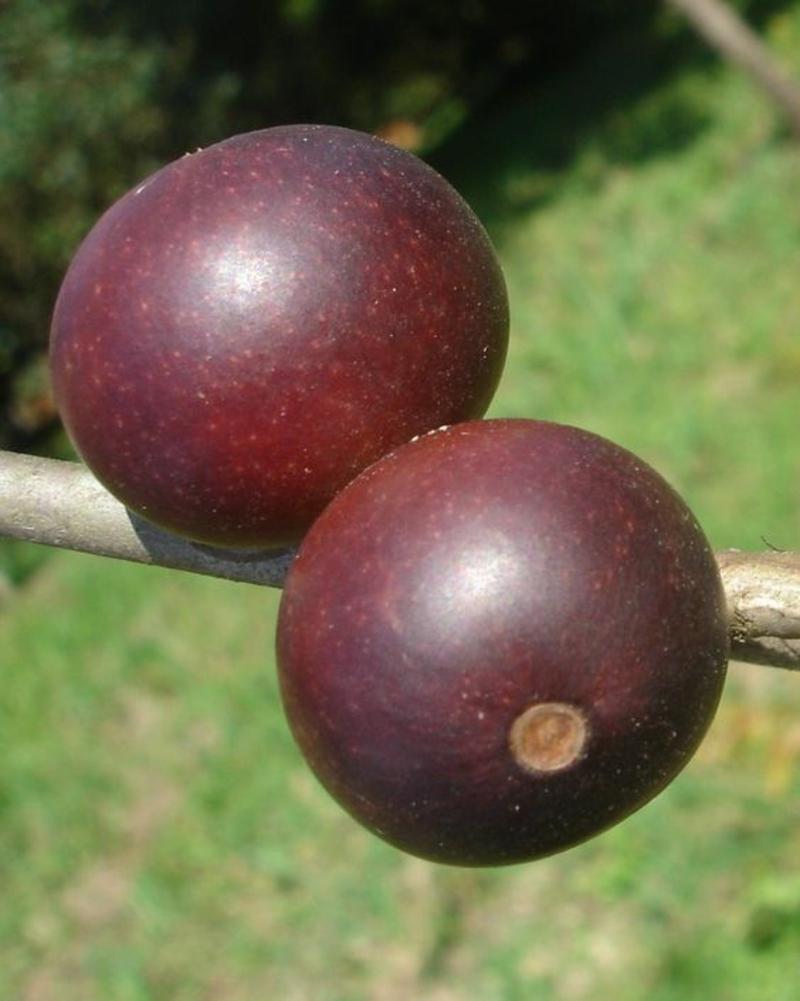 Camu Camu Myrciaria dubia Super Frucht aus Brazil und Peru
