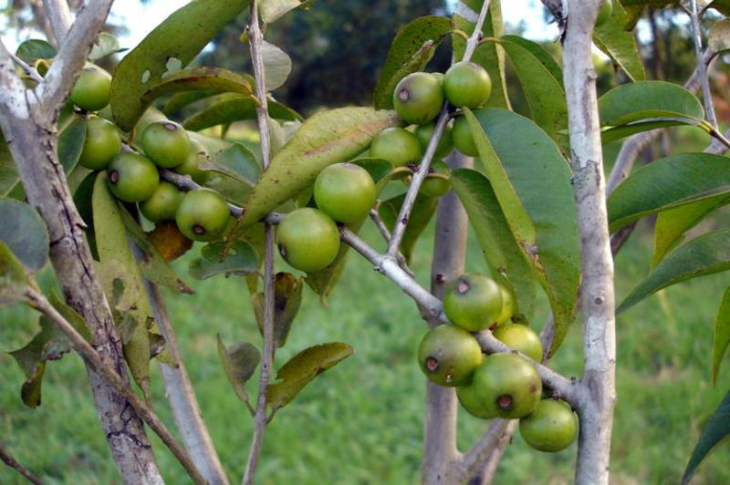 Camu Camu Myrciaria dubia Super Frucht noch nicht reif