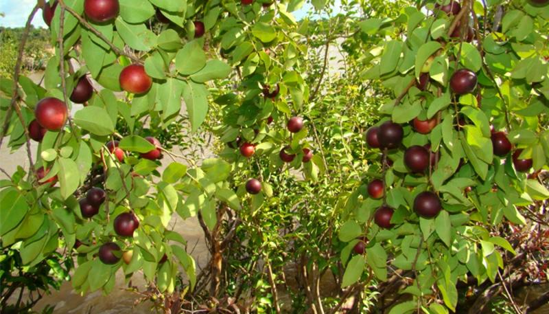 Camu Camu Myrciaria dubia Super Frucht