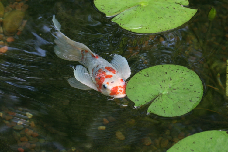 Fischteich inspirierende Gartenteich Bilder Gartenideen Teich Fisch