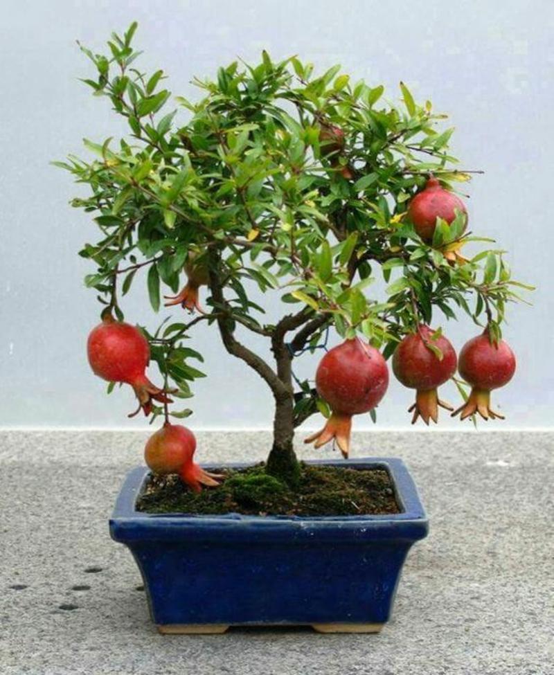 Granatapfel Bonsai Baum kaufen und pflegen Bonsai Arten