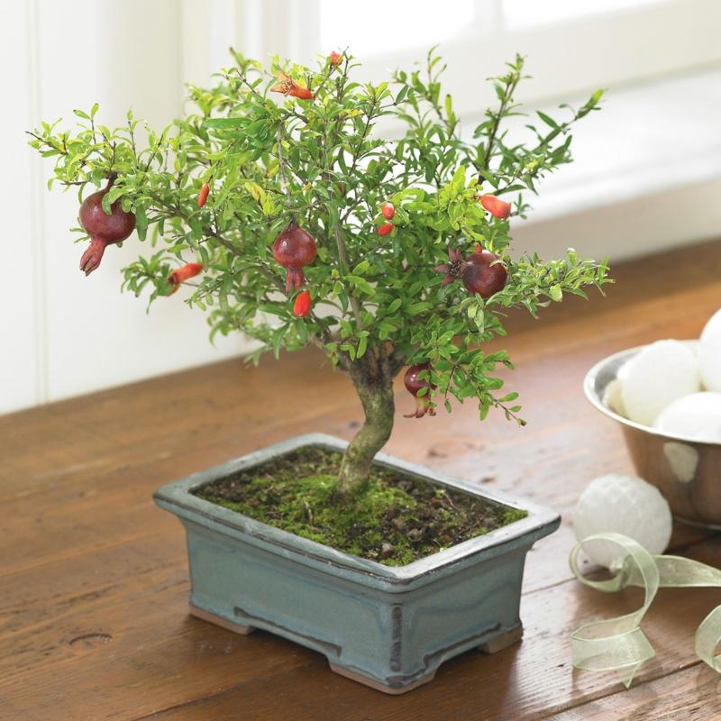Granatapfel Bonsai kaufen und pflegen Bonsai Arten