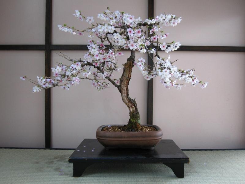 Kirschen Bonsai Pflege Bonsai Arten Gartenideen
