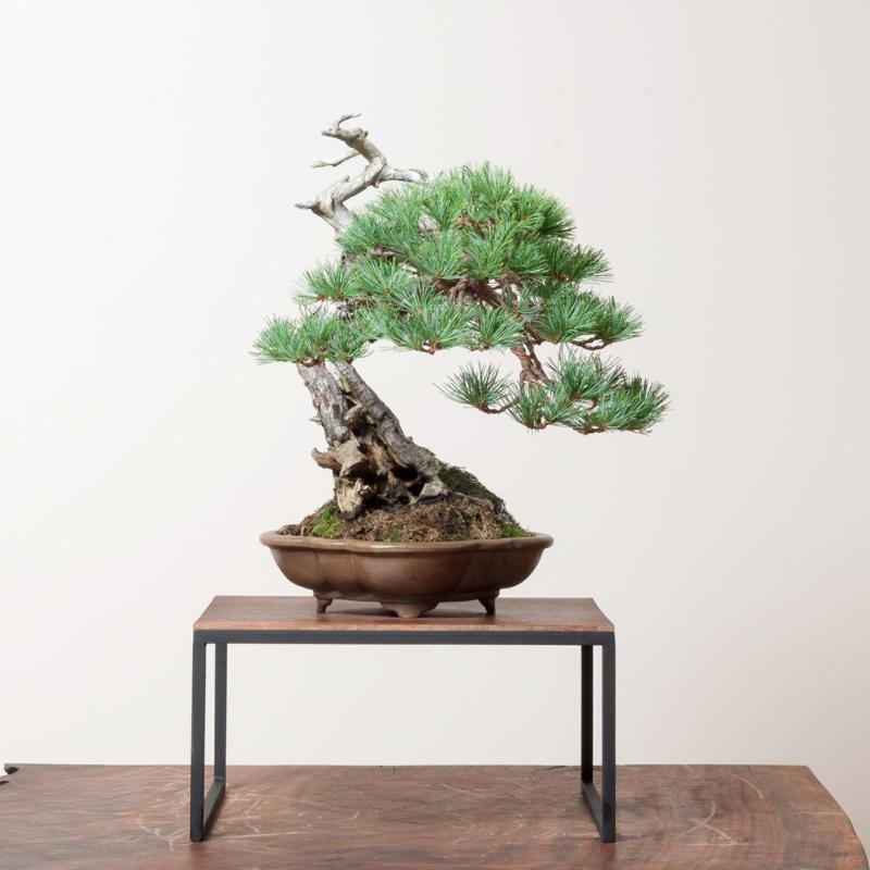 Sakura Bonsai Pflege wunderschöne Bonsai Arten dekorative Zimmerpflanzen
