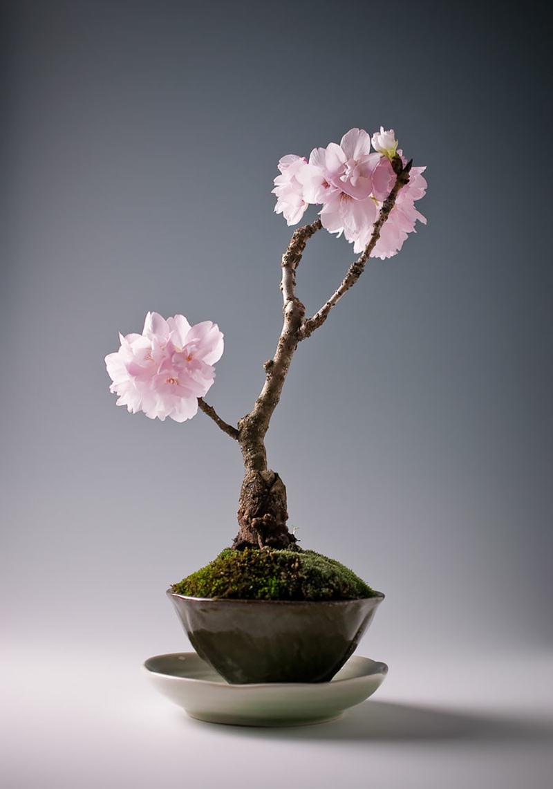 Sakura Bonsai kaufen wunderschöne Bonsai Arten