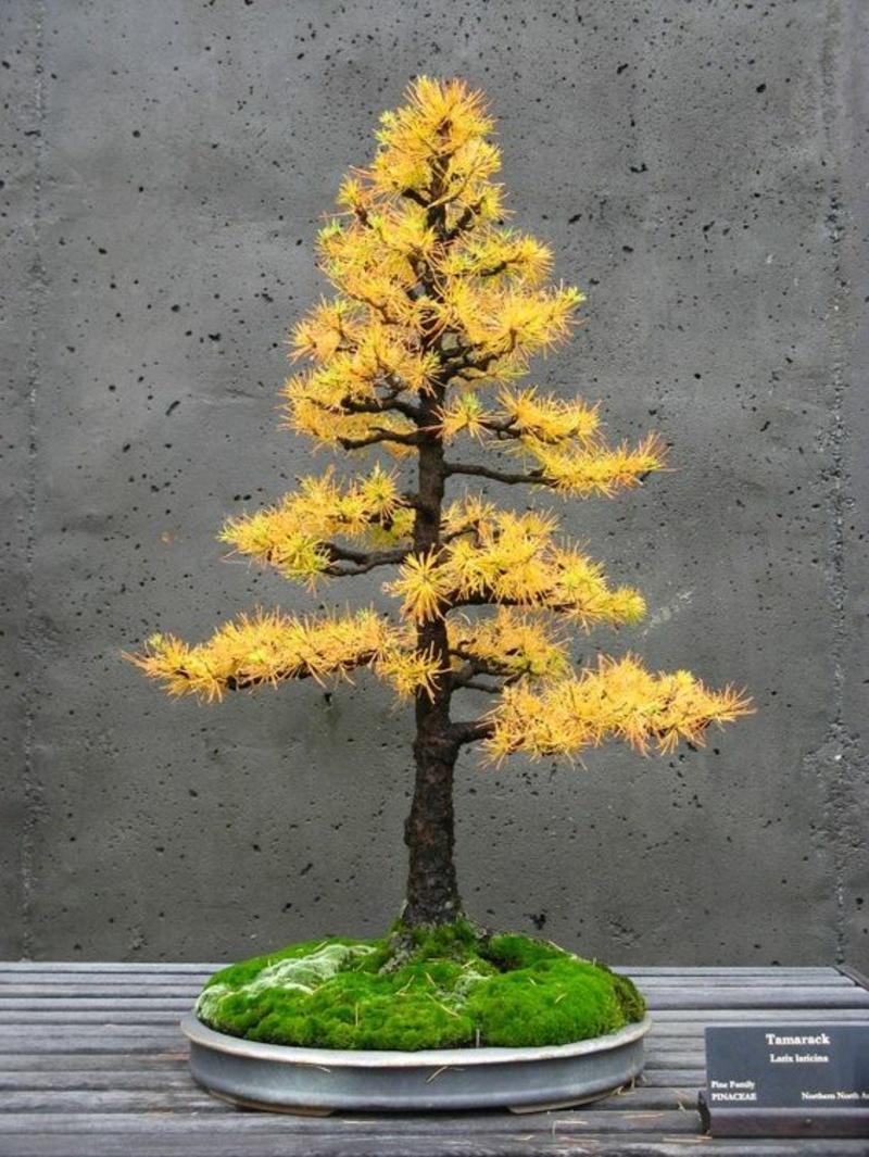 Tamarack Bonsai Baum kaufen und pflegen Bonsai Arten Herbstblätter