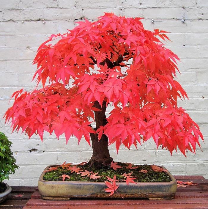 bonsai baum ahorn japanisch rote blätter weiße ziegelsteinwand