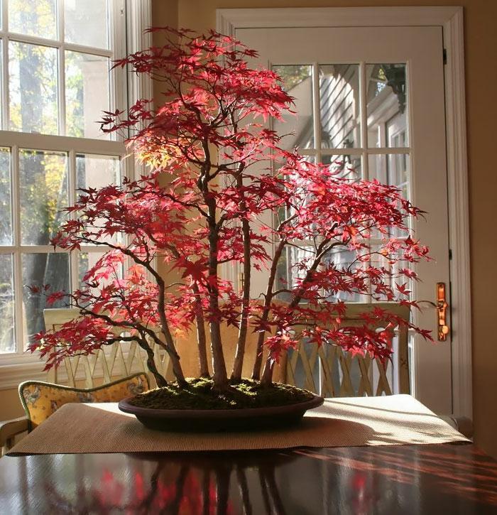 bonsai bäume ahorn rote blätter tischdekoration